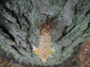 Nymph emerging from its shell. Copyright Deborah Abrams Kaplan
