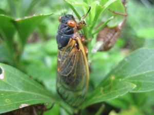 Adult cicada. Copyright Deborah Abrams Kaplan