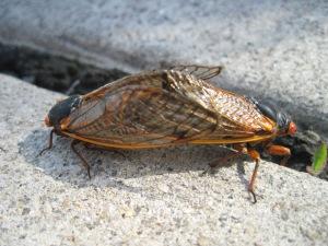 cicada sex